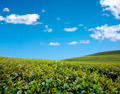 Green tea field with blue sky. - PhotoDune Item for Sale