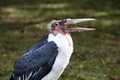 Marabou Stork, Leptoptilos crumeniferus - PhotoDune Item for Sale