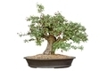 Bonsai tree - PhotoDune Item for Sale