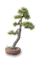 Bonsai tree - pine - PhotoDune Item for Sale