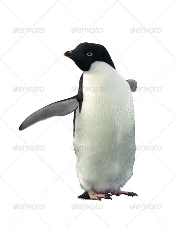 Adelie penguin - Stock Photo - Images