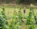 Scarecrow and tomato plants - PhotoDune Item for Sale