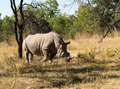Large rhino grazing the grass in Zimbabwe - PhotoDune Item for Sale