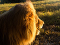 Old male lion in the grass in Southern Africa - PhotoDune Item for Sale
