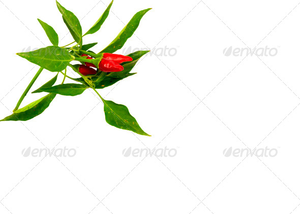 Little red hot Hawaiian Chile Peppers - Stock Photo - Images