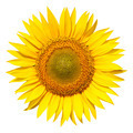 sunflower isolated - PhotoDune Item for Sale