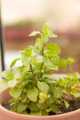 Fresh Green Mint Herb - PhotoDune Item for Sale