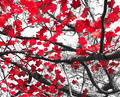 Red Fall Leaves on Black and White - PhotoDune Item for Sale