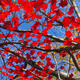 Red Fall Leaves and Blue Sky Background - PhotoDune Item for Sale