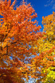 Bright Colorful Leaves on a Fall Trees - PhotoDune Item for Sale