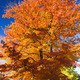 Tall Colorful Fall Tree Along City Street - PhotoDune Item for Sale