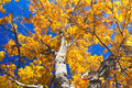 Canopy of Golden Fall Leaves in the Sky - PhotoDune Item for Sale