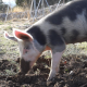 Pig Digs (4-Pack) - VideoHive Item for Sale
