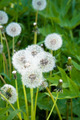 Dandelions. - PhotoDune Item for Sale