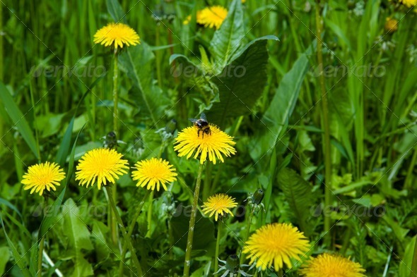 Flowering dandelion - Stock Photo - Images
