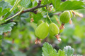 Gooseberries - PhotoDune Item for Sale