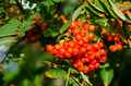 Sorbus aucuparia, rowan or mountain-ash - PhotoDune Item for Sale