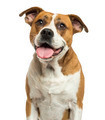 Close-up of an American Bulldog panting, isolated on white - PhotoDune Item for Sale