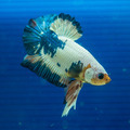 Siamese fighting fish in the aquarium. - PhotoDune Item for Sale
