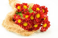 Red chrysanthemum; Dendranthemum grandifflora. - PhotoDune Item for Sale