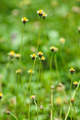 Mexican daisy (Tridax procumbens L.) - PhotoDune Item for Sale