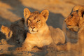 African lion cub - PhotoDune Item for Sale