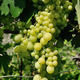 Growing branch of green grape in sunlight - PhotoDune Item for Sale
