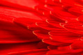 Red Gerbera Flower Petals - PhotoDune Item for Sale