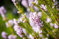 Light pink heath plant blossoming close up - PhotoDune Item for Sale