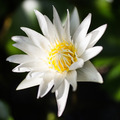 white lotus - PhotoDune Item for Sale