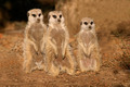 Meerkat family - PhotoDune Item for Sale