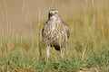 Pale Chanting Goshawk - PhotoDune Item for Sale