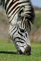 Grazing Zebra - PhotoDune Item for Sale