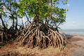Mangrove tree - PhotoDune Item for Sale