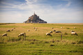 Le Mont-Saint-Michel and sheeps - PhotoDune Item for Sale