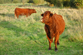 Red Heifer Bulls Grazing on a Pasture Farm Field - PhotoDune Item for Sale
