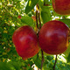 Courtland Apples  - PhotoDune Item for Sale