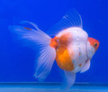 goldfish in the auqarium. - PhotoDune Item for Sale