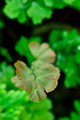 Adiantum fern. - PhotoDune Item for Sale