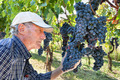 Wine maker checking grapes - PhotoDune Item for Sale