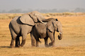 Mating African elephants - PhotoDune Item for Sale