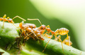 Red ant and aphid on the leaf - PhotoDune Item for Sale