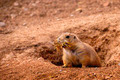 Black Tailed Prairie Dog - PhotoDune Item for Sale