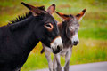 Portrait of Two Burros - PhotoDune Item for Sale