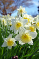 Sunny daffodils - PhotoDune Item for Sale
