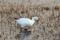 Snow Goose - PhotoDune Item for Sale
