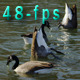 A Group of Geese Eating in a Lake - VideoHive Item for Sale