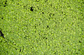 Background of Lemna floating plants - PhotoDune Item for Sale