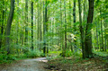 Beech forest in summer - PhotoDune Item for Sale