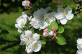 Blooming apple tree - PhotoDune Item for Sale